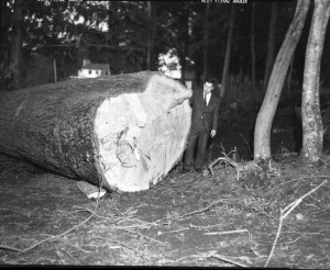 Mr. I. Donald standing beside felled giant tree. 196_